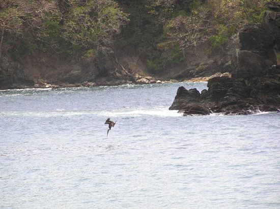 Coco Reef Tobago: Pelican fishing