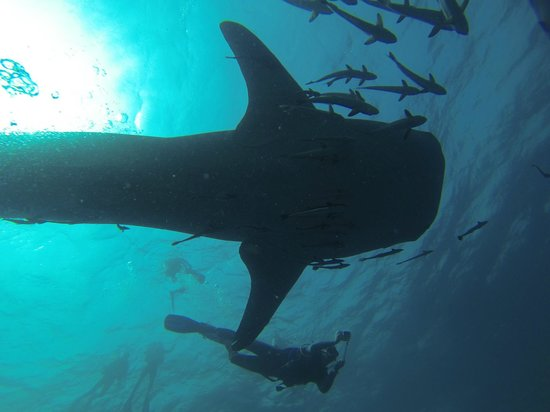 Sairee Cottage Diving: The Whale Shark we dived with!!
