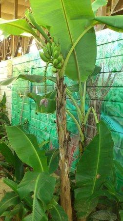 Panama's Paradise Saigoncito: Banano del jardín