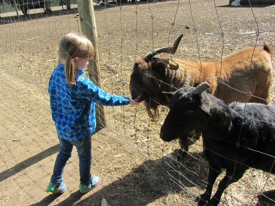 Kangaroo Island Wildlife Park : Feeding the goats
