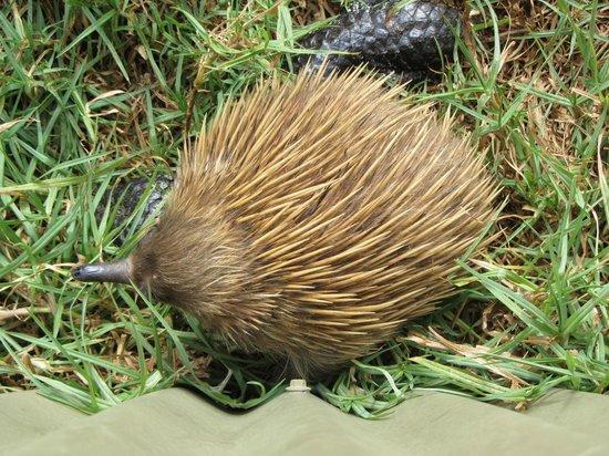 Kangaroo Island Wildlife Park : One of the echidnas