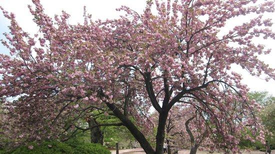Shinjuku Gyoen National Garden: Cherry Blossom