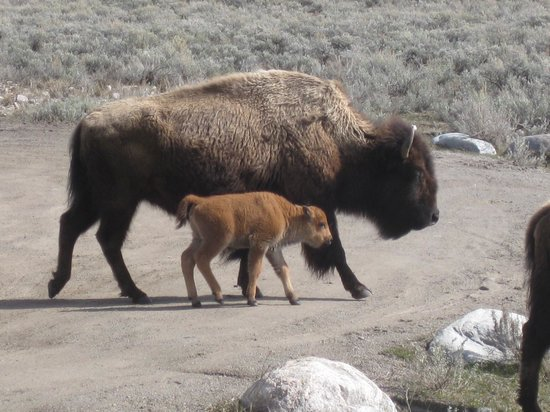 Yellowstone Wolf Tracker : Newborn bison so cute!