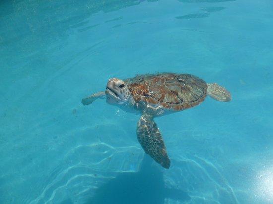 Sea Turtle Hatchery: Tortuga pronta para reinsertarse a la naturaleza