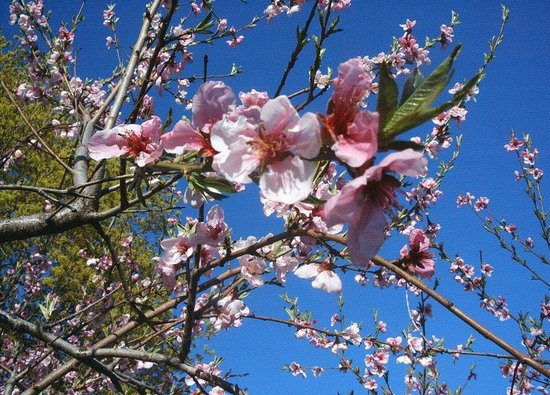 Orchard View Bed & Breakfast: Apricot tree in spring