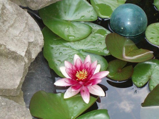 Orchard View Bed & Breakfast : Water Lily in fish pond