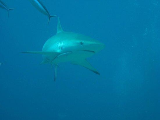 Diamonds Thudufushi : shark