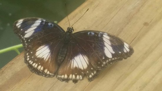 The North Somerset Butterfly House: Diadem (female)