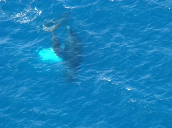 Caribbean Helicopters: View of the whales from the helicopter