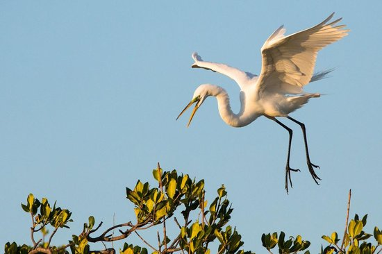 Everglades Area Tours: Egret landing on a Mangrove