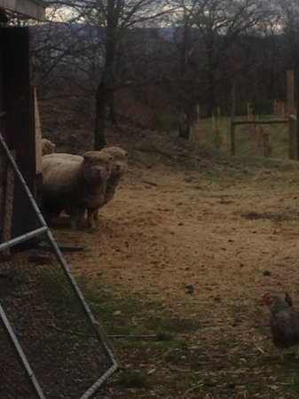 Benmarl Vineyards and Winery: cutest, funniest farm animals hanging out near the property