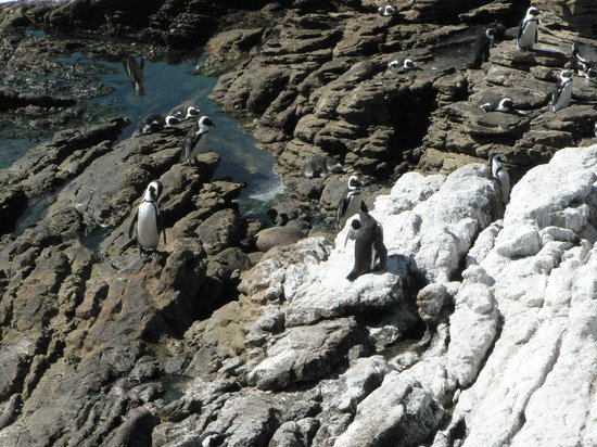 Stony Point Penguin Colony: Penguins on the rocks
