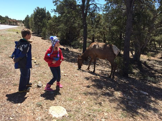 All-Star Grand Canyon Tours: Seeing elk up close