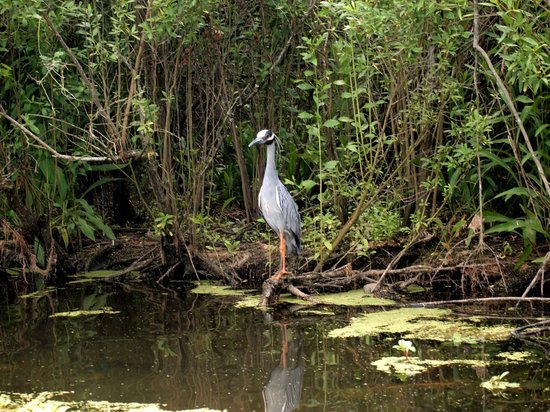 Kayak-iti-Yat Original Kayaking Tours of New Orleans: We saw gators and many sea birds, including this yellow crowned night heron.