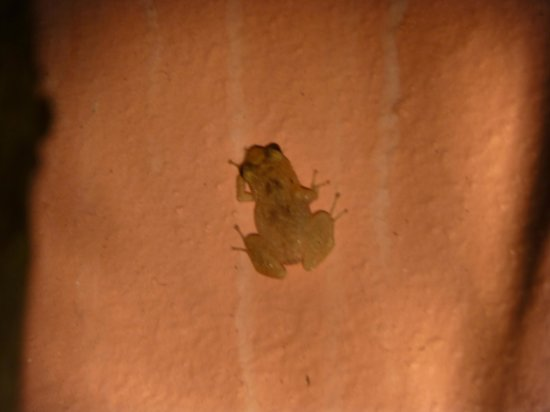 Royal Palms Hotel: The elusive Bermuda frog (April 2014)