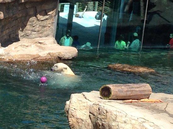 San Diego Zoo: Polar bear