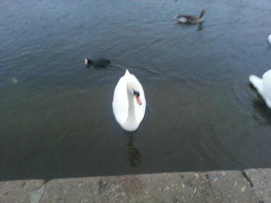 The Athenaeum Hotel & Residences : Swan