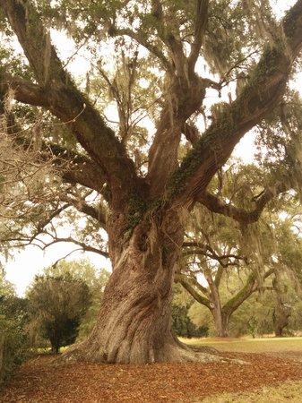 Mepkin Abbey: A twisted tree