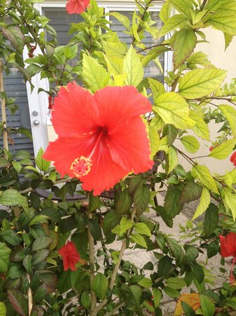 Ports of Call Resort: Hibiscus flowers on site
