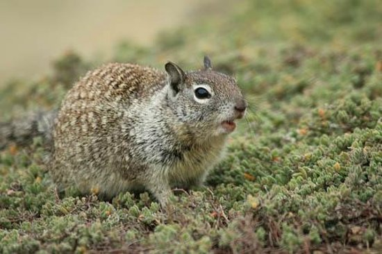 La Jolla Shores Park: California Ground Squirrel