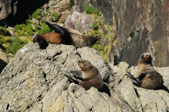 Southern Alps Air - Scenic Flights : Seals on Milford Sound.