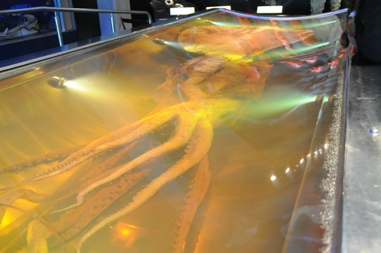 Te Papa Tongarewa : Colossal Squid at Te Papa Museum.