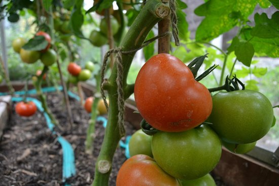 Angel Inn Pub: Tomatoes on our greenhouse