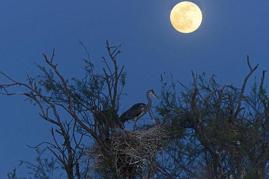 Le Parc Ornithologique de Pont de Gau : 14.4.2014 ore 20.45 airone cenerino sotto la luna Foto Luisa Ferrari