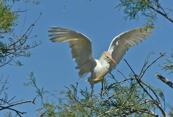 Le Parc Ornithologique de Pont de Gau : 16.4.2014 ore 16.30 airone guardabuoi Foto Luisa Ferrari