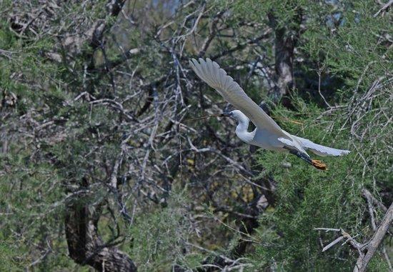 Le Parc Ornithologique de Pont de Gau : 14.4.2014 ore 15.00 garzetta costruisce il nido Foto Luisa Ferrari
