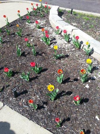 Howard Johnson Inn Cleveland Airport : Evelyn's Tulips
