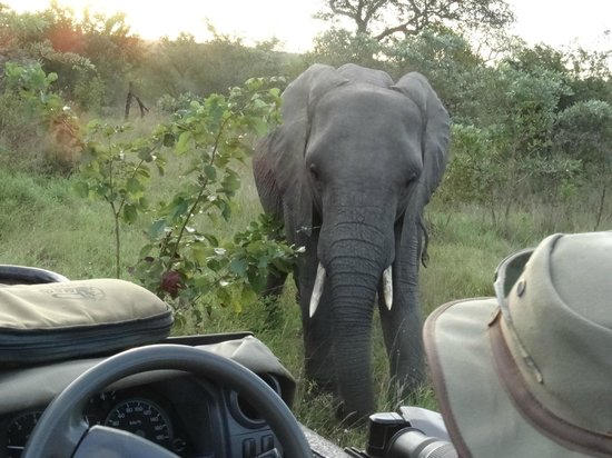Nkorho Bush Lodge: A female elephant looking at us closely