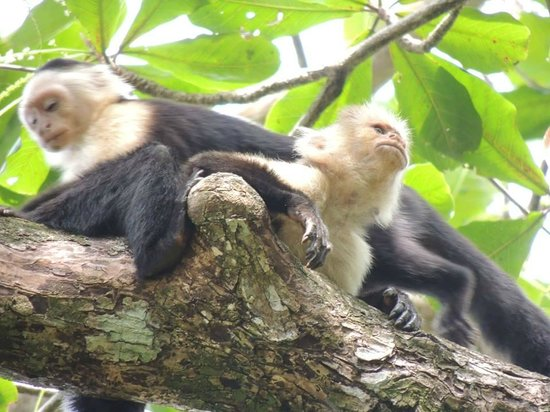 Playa Negra Guesthouse: Monkeys in the Cahuita National Park