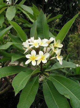 Whangarei, Nueva Zelanda: Plumeria rubra or frangipani
