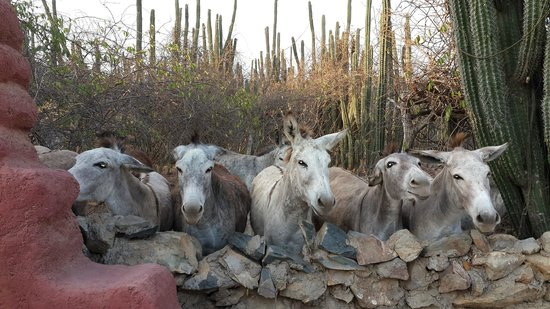 Cunucu Arubiano : Our breakfast guest - Donkey sanctuary next to our casita
