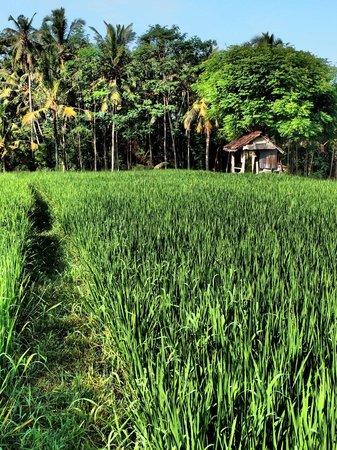Soulshine Bali: Rice fiels nearby...