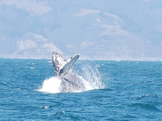 Central Coast Sailing Charters: Humpback whale breach