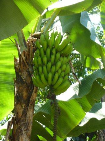 Monte Azul : fresh bananas