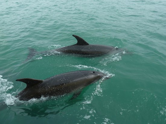 Explore - Bay of Islands: Beautiful dolphins.