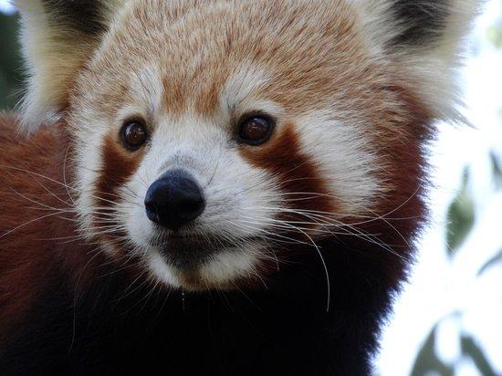 Halls Gap Zoo: Red Tree Panda