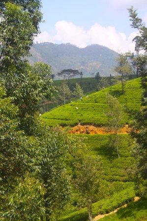 Ceylon Tea Trails : Tea Fields
