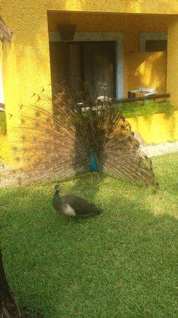 Iberostar Tucan Hotel : Peacock residents