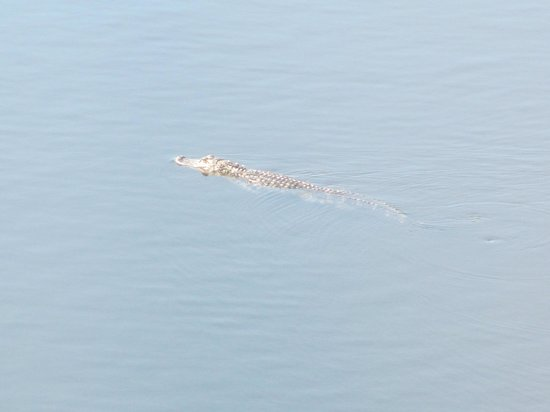 Sea Palms Resort & Conference Center: Alligator swimming in the lake!