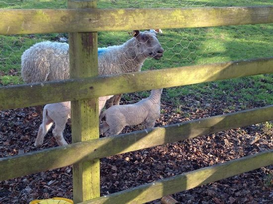 Dundrum House: Sheep right outside our door