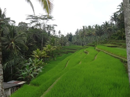 Mount Kawi : Rice paddies as you descend