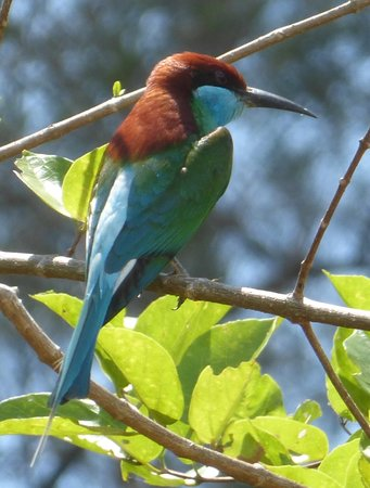 Lupa Masa Rainforest Camp: Blue throated bee eater