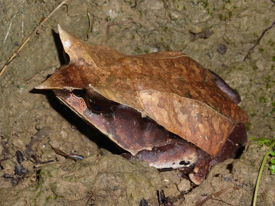 Lupa Masa Rainforest Camp: The toad everyone wants to see