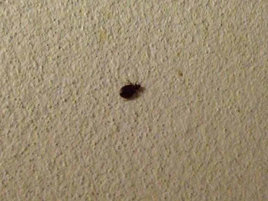 Elephant Backpacker: Bed bug on wall on bottom bunk ! No refund