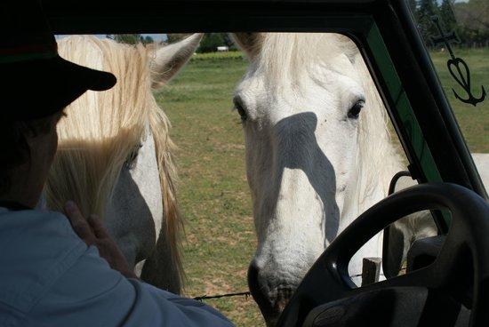 Camargue autrement safari 4x4 : 2 chevaux viennent demander quelques croutons de pain