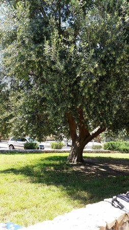 Agricamping Le Radici: Gli ulivi.